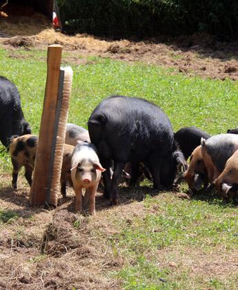 Schwarzealpenschweine auf der Wiese